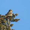 Bec-croisé des sapins, mâle, 1e année, sur l'Île Amherst le 16 novembre 2012.<br /> <br /> Très rare, toute l'année.<br /> <br /> A first year male Red Crossbill on Amherst Island on 16 November 2012.<br /> <br /> Very rare, all year.