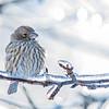 Roselin familier.  Peu commun durant toute l'année.  Nicheur _ House Finch.  Uncommon all year. Breeds.