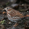 Bruant fauve.  Rare, printemps et automne.  Très rare l'hiver.  Fox Sparrow. Rare, spring and fall.  Very rare in winter.