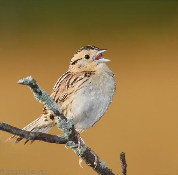Bruant de Le Conte mâle adulte dans les comtés unis de Prescott et Russell le 3 août 2011. <br /> <br /> Ce Bruant de Le Conte a été trouvé dans P/R pour la première fois par Eve-Lyne Samson et André Lacasse au début du mois de juillet. On retrouve cette espèce nicheuse en petit nombre au nord et à l'ouest de l'Ontario. Durant la saison de nidification de 2001 à 2005 on ne l'a localisé que dans deux parcelles (10 km X 10 km) au sud du Bouclier, l'une à l'est de Orangeville (nord-ouest de Toronto) et l'autre au sud d'Ottawa. Cette observation durant la période de nidification constitue celle la plus à l'est dans la province.<br /> <br /> Celui-ci est seulement mon quatrième à vie. J'ai vu mon premier au Parc national de la Pointe Pelée le 10 mai 1978, mon deuxième le 1 novembre 1987, et mon troisième le 3 juin 1989 à Rainy River (nicheur dans l'ouest de la province).<br /> <br /> Très rare du printemps à l'automne.  Nicheur possible.<br /> <br /> Le Conte's Sparrow in the united counties of Prescott and Russell on 3 August 2011.<br /> <br /> This male Le Conte's Sparrow was found for the first time in the P/R area by Eve-Lyne Samson and André Lacasse in early July 2011.<br /> <br /> Very rare from spring to fall.  Possibly breeds.