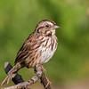 Bruant chanteur  - Song Sparrow