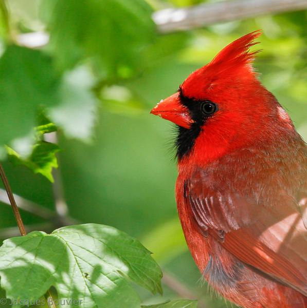 Cardinal rouge mâle adulte au parc provincial Rondeau le 14 mai 2010.  <br /> <br /> Peu commun, toute l'année.  Nicheur.<br /> <br /> An adult male Northern Cardinal at Rondeau Provincial Park on 14 May 2010.  <br /> <br /> Uncommon, all year.  Breeds.