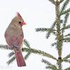 Cardinal rouge.  Peu commun, toute l'année.  Nicheur _  Northern Cardinal.  Uncommon, all year.  Breeds.