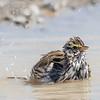 Bruant des prés.  Commun, printemps-automne.  Nicheur _ Savannah Sparrow.  Common, spring-fall.  Breeds.
