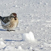 Sizerin flammé observé le 9 janvier 2009.  <br /> <br /> Variable, automne au printemps.<br /> <br /> A Common Redpoll observed on 9 January 2009. <br /> <br /> Variable, fall through spring.