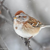 Bruant hudsonien.  Commun, automne-printemps _  American Tree Sparrow.  Common, fall-spring.