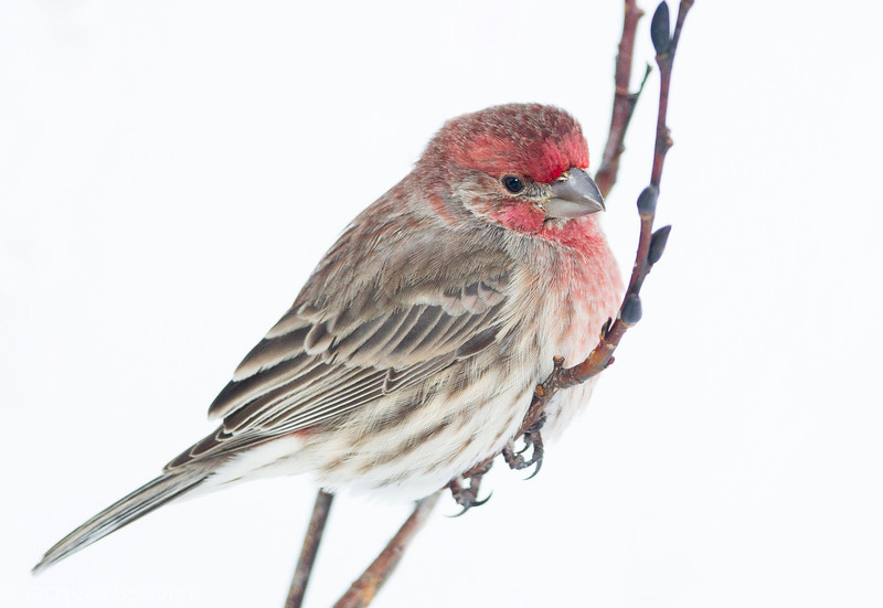 Roselin familier mâle à St-Isidore le 21 février 2013. <br /> <br /> Peu commun, durant toute l'année. Nicheur.<br /> <br /> A male House Finch at my St-Isidore feeder on 21 February 2013. <br /> <br /> Uncommon, all year. Breeds.