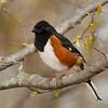 Tohi à flancs roux, un nicheur rare dans le cercle de miroise.  Ce mâle a été photographié au Parc provincial Rondeau le 12 mai 2011.<br /> <br /> Rare, printemps-automne.  Nicheur.<br /> <br /> The Eastern Towhee is a rare breeder in the birding circle.  This male was photographed at Rondeau Provincial Parc on 12 May 2011.<br /> <br /> Rare, spring-fall.  Breeds.