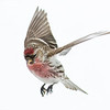 Sizerin flammé.   Variable, automne au printemps. Souvent commun lorsque présent _ Common Redpoll.   Variable, fall to spring. Often common when present.