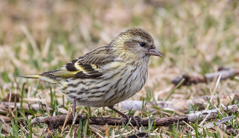 Tarin des pins.  Variable, toute l'année.  Nicheur  _  Pine Siskin.  Variable, all year. Breeds.