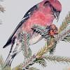 Bec-croisé bifascié mâle se préparant à extraire les graines d'un cône d'Épinette noire dans la forêt Larose le 29 décembre 2008.  Le seul temps qu'on verra cette espèce en grand nombre localement c'est quand les conifères auront produit peu de cones dans la forêt boréale mais beaucoup dans la forêt Larose et les alentours.  <br /> <br /> Variable toute l'année.  Nicheur,<br /> <br /> A male White-winged Crossbill is getting ready to extract the seeds from a Black spruce cone in Larose forest on 29 December 2008.   During a year of  failed cone crops in the Boreal Forest and of abundant cone crops locally, Larose forest can be a good place to see both crossbills, particularly the white-winged.<br /> <br /> Variable all year.  Breeds.