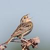 Bruant sauterelle.  Rare, printemps-automne.  Nicheur _ Grasshopper Sparrow. Rare, spring-fall.  Breeds.