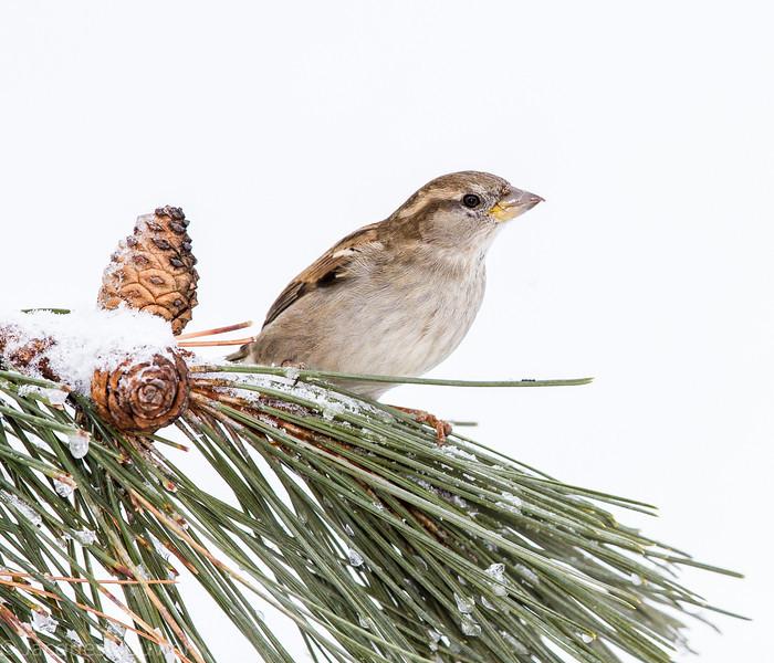Moineau domestique femelle adulte photographié à St-Isidore le 5 mars 2013. <br /> <br /> Commun toute l'année. Nicheur.<br /> <br /> <br /> An adult female House Sparrow photographed in St-Isidore on 5 March 2013. <br /> <br /> Common all year. Breeds.