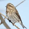 Roselin pourpré .  Commun, printemps-automne. Rare l'hiver. Nicheur _ Purple Finch.  Common, spring-fall. Rare during winter. Breeds.