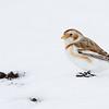 Plectrophane des neiges en plumage de premier hiver observé à St-Isidore le 6 décembre 2013. Le peu de contrast dans les plumes du dos, et le blanc limité dans les secondaires suggèrent une femelle.<br /> <br /> Commun, automne - printemps.<br /> <br /> <br /> Snow Bunting in first winter plumage observed in St-Isidore on 6 December 2013.  The lack of contrast in the back feathers, and little white in the secondaries suggest a female.<br /> <br /> Common, fall-spring.