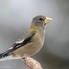 Gros-bec errant.  Autrefois variable mais maintenant rare, toute l'année.  Nicheur _  Evening Grosbeak.   In past was variable but now is rare, all year.  Breeds.