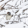 Moineau domestique mâle adulte photographié  à St-Isidore le 28 février 2013. <br /> <br /> Commun toute l'année. Nicheur.<br /> <br /> <br /> An adult male House Sparrow photographed in St-Isidore on 28 February 2013. <br /> <br /> Common all year. Breeds.
