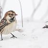 Plectrophane lapon.  Variable, automne au printemps _ Lapland Longspur. Variable, fall to spring.