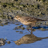 Pipit d'Amérique à la lagune d'Alfred le 11 octobre 2011.<br /> <br /> Peu commun, printemps et automne.<br /> <br /> <br /> American Pipit at Alfred sewage lagoons on 11 October 2011.<br /> <br /> Uncommon, spring and fall.