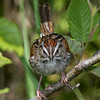 Bruant des marais. Commun, printemps-automne.  Nicheur _  Swamp Sparrow. Common, spring-fall.  Breeds.