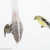 Chardonneret Jaune.  Commun, durant toute l'année.  Nicheur _ American Goldfinch.  Common, throughout the year.  Breeds.