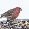 Roselin familier mâle à ma mangeoire à St-Isidore le 3 mars 2013. <br /> <br /> Peu commun, durant toute l'année. Nicheur.<br /> <br /> A male House Finch at my St-Isidore feeder on 3 March 2013. <br /> <br /> Uncommon, all year. Breeds.