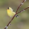 Chardonneret Jaune.  Commun, durant toute l'année.  Nicheur _ American Goldfinch.  Common, throughout the year.  Breeds.