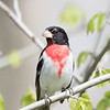 Cardinal à poitrine rose.  Commun, printemps-automne, Très rare l'hiver.  Nicheur _ Rose-breasted Grosbeak.  Common, spring-fall. Very rare in winter.  Breeds.