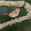 Bruant de Lincoln.  Peu commun, printemps-automne.  Nicheur _  Lincoln's Sparrow.  Uncommon, spring-fall.  Breeds.