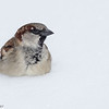Moineau domestique.   Commun toute l'année. Nicheur _ House Sparrow.  Common all year. Breeds.