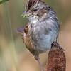 Bruant des marais. Commun, printemps-automne.  Nicheur _  Swamp Sparrow. Common, spring-fall.  Breeds.