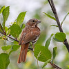 Bruant fauve.  Rare, printemps et automne.  Très rare l'hiver.  Fox Sparrow. Rare, spring and fall.  Very rare in winter.