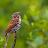 Bruant fauve mâle adulte à Schefferville QC le 28 juin 2012.  <br /> Rare, printemps et automne.  Très rare l'hiver.<br /> <br /> An adult male Fox Sparrow in Schefferville QC on 28 June 2012.  <br /> <br /> Rare, spring and fall.  Very rare in winter.