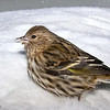 Tarin des pins observé à St-Isidore le 28 janvier 2009.<br />   <br /> Variable, toute l'année.  Nicheur.<br /> <br /> A Pine Siskin observed in St-Isidore on 28 January 2009.  <br /> <br /> Variable, all year. Breeds.