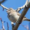 Bruant vespéral.  Peu commun, printemps à l'automne.  Nicheur _  Vesper Sparrow.  Uncommon, spring to fall.  Breeds.