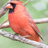 Cardinal rouge.  Peu commun, toute l'année.  Nicheur _  Northern Cardinal.  Uncommon, all year.  Breeds.