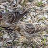 Sizerin flammé adulte  femelle de la population du Groenland (rostrata, celui de gauche) à ma mangeoire à St-Isidore le 21 avril 2013. Il est plus sombre, et la taille est d'environ 10% plus grande que les populations plus au sud du Sizerin flammé (celui à droite).<br /> <br /> Variable, automne au printemps. Presque toujours très rare lorsque présent.<br /> <br /> An adult female Greenland Greater Redpoll (rostrata, left-hand side) at my St-Isidore on 21 April 2013. It averages 10% larger and overall darker than the Southern population of Common Redpoll (right-hand side).<br /> <br /> Variable, fall to spring. Most often very rare when present.