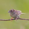 Bruant sauterelle mâle dans la région de  Avonmore le 15 juin 2013.<br /> <br /> Rare, printemps à l'automne.  Nicheur.<br /> <br /> A male Grasshopper Sparrow in the  Avonmore area on 15 June 2013. <br /> <br /> Rare, spring to fall.  Breeds.