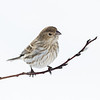 Roselin familier femelle à St-Isidore le 21 février 2013. <br /> <br /> Peu commun, durant toute l'année. Nicheur.<br /> <br /> A female House finch in St-Isidore on 21 February 2013.<br /> <br /> Uncommon, all year. Breeds.