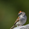 Bruant familier.  Commun, printemps-automne.  Très rare l'hiver.  Nicheur _ Chipping Sparrow.  Common, spring-fall. Very rare in winter.  Breeds.