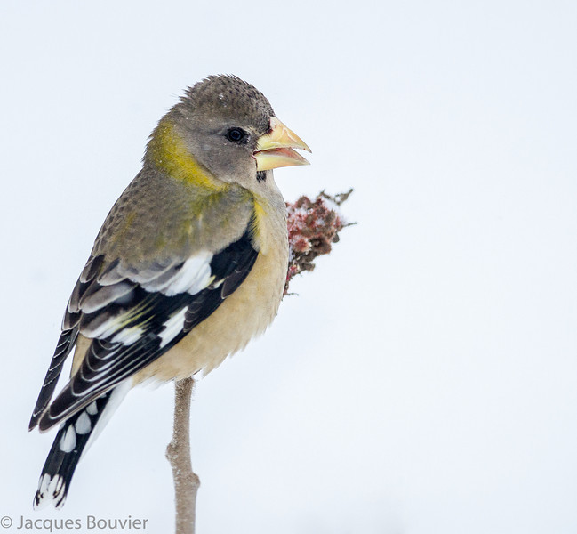 Gros-bec errant femelle chez moi à St-Isidore le 8 février 2013.  <br /> <br /> Autrefois variable mais maintenant rare, toute l'année.  Nicheur.<br /> <br /> A female Evening Grosbeak at my place in St-Isidore on 8 February 2013.<br /> <br /> In past was variable but now is rare, all year.  Breeds.