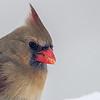 Cardinal rouge femelle adulte chez-moi à St-Isidore le 29 février 2013.<br /> <br /> Peu commun, toute l'année. Nicheur.<br /> <br /> An adult female Northern Cardinal at my place in St-Isidore on 29 February 2013. <br /> <br /> Uncommon, all year. Breeds.