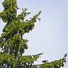 Bec-croisé bifascié mâle à la recherche de graines dans les cônes d'Épinettes blanches dans la forêt Larose le 29 août 2008. Cette espèce se rencontre en grand nombre localement durant les années que les conifères auront produit un grand nombre de cones dans l'Est ontarien mais très peu dans la forêt boréale du Grand Nord. <br /> <br /> Variable toute l'année. Nicheur,<br /> <br /> A male White-winged Crossbill feeding on seeds from the cones of White Spruce in Larose forest on 29 August 2008. During a year of failed cone crops in the Boreal Forest, and of abundant cone crops locally, Larose forest and other conifer woodlands can be a good place to see both species of crossbills, particularly the white-winged.<br /> <br /> Variable all year. Breeds