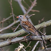 Bruant des champs adulte mâle à Guelph le 8 mai 2013.<br /> <br /> Rare, printemps-automne.  Nicheur.<br /> <br /> An adult male Field Sparrow in Guelph on 8 May 2013. <br /> <br /> Rare, spring-fall.  Breeds.