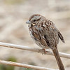 Bruant chanteur.  Commun, printemps-automne.  Rare l'hiver.  Nicheur _ Song Sparrow. Common, spring-fall.  Rare in winter.  Breeds.