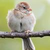 Bruant des champs. Rare, printemps-automne.  Nicheur  _  Field Sparrow.  Rare, spring-fall.  Breeds.