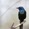 Quiscale bronzé.  Commun, printemps-automne. Rare l'hiver.  Nicheur _  Common Grackle.  Common, spring-fall. Rare in winter.  Breeds.