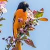 Oriole de Baltimore.   Peu commun, printemps-automne.  Nicheur _ Baltimore Oriole.   Uncommon, spring-fall.  Breeds.