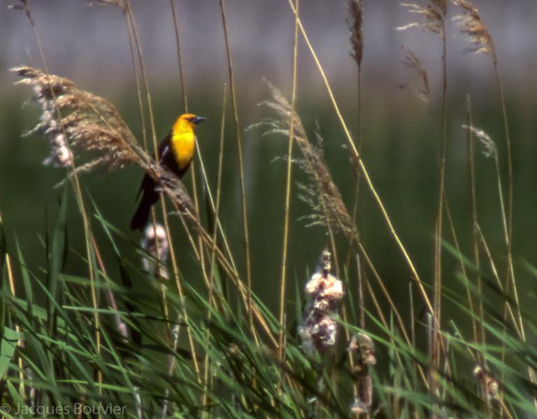 Carouge à tête jaune mâle adulte à Rainy River le 3 juin 1989.<br /> <br /> Très rare l'hiver.<br /> <br /> An adult male Yellow-headed Blackbird at Rainy river on 3 June 1989.<br /> <br /> Very rare in winter.
