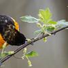Oriole de Baltimore mâle adulte dégustant du nectare de la fleur d'un Groseiller des chiens (Ribes cynosbati)au parc national Pointe Pelée le 14 mai 2013.  <br /> <br /> Peu commun, printemps-automne.  Nicheur.<br /> <br /> An adult male Baltimore Oriole feeding on nectar of Prickly Gooseberry (Ribes cynosbati) in Point Pelee National Park on 14 May 2013.  <br /> <br /> Uncommon, spring-fall.  Breeds.